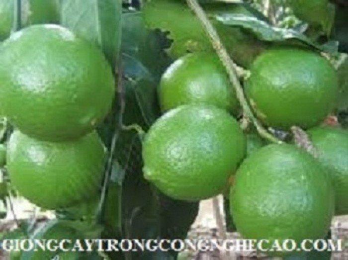 Chuyên cung cấp cây giống chanh bốn mùa, chanh tứ quý, số lượng lớn, giao hàng toàn quốc2