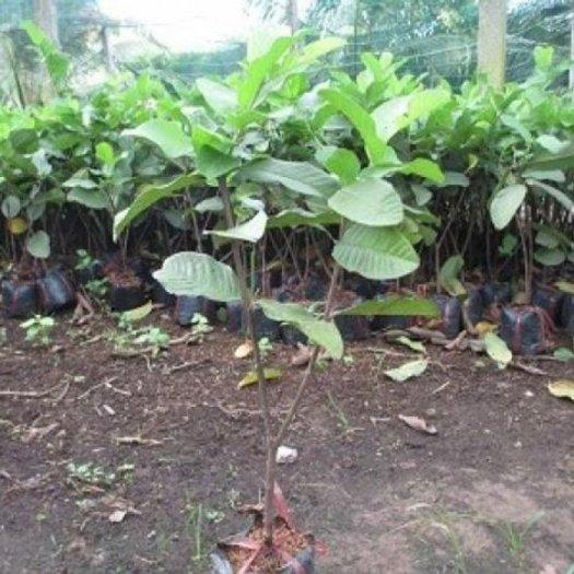 Chuyên cung cấp giống cây ổi lê đài loan,ổi lê ngọt đài loan,ổi lê,ổi ngọt,ổi đài loan1