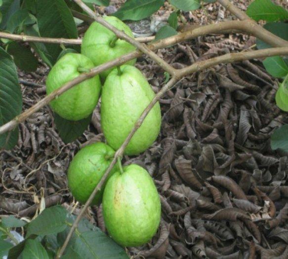 Chuyên cung cấp giống cây ổi lê đài loan,ổi lê ngọt đài loan,ổi lê,ổi ngọt,ổi đài loan2