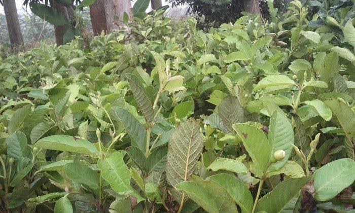 Chuyên cung cấp giống cây ổi lê đài loan,ổi lê ngọt đài loan,ổi lê,ổi ngọt,ổi đài loan3
