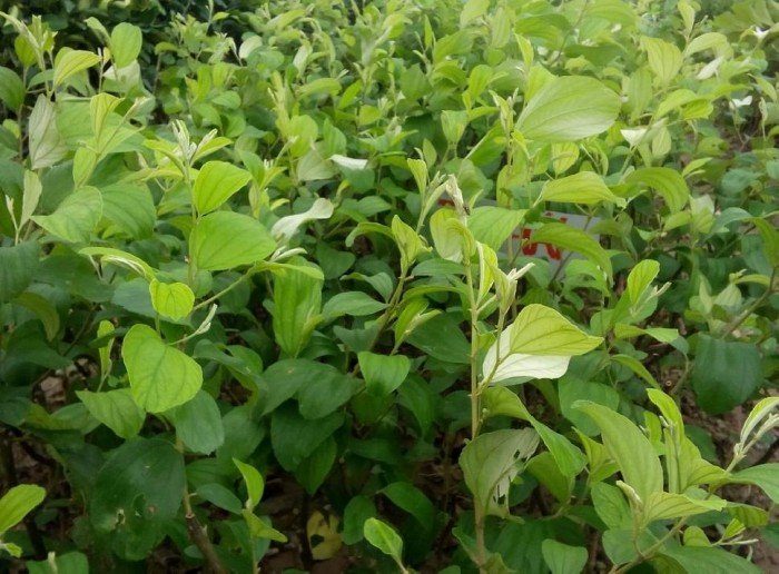 [4] Bán giống táo ngọt D28, quả to ngọt, số lượng lớn, giao cây toàn quốc.