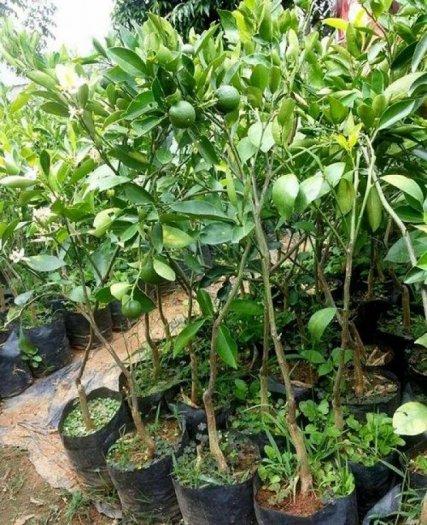 Chuyên cung cấp giống cây cam cara ruột đỏ,cam cara,cam ruột đỏ,cam,cam cara ruột đỏ1