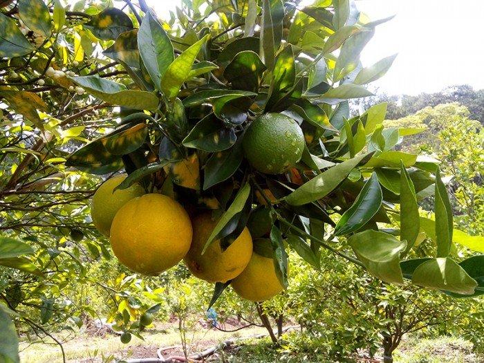 Chuyên cung cấp giống cây cam cara ruột đỏ,cam cara,cam ruột đỏ,cam,cam cara ruột đỏ3