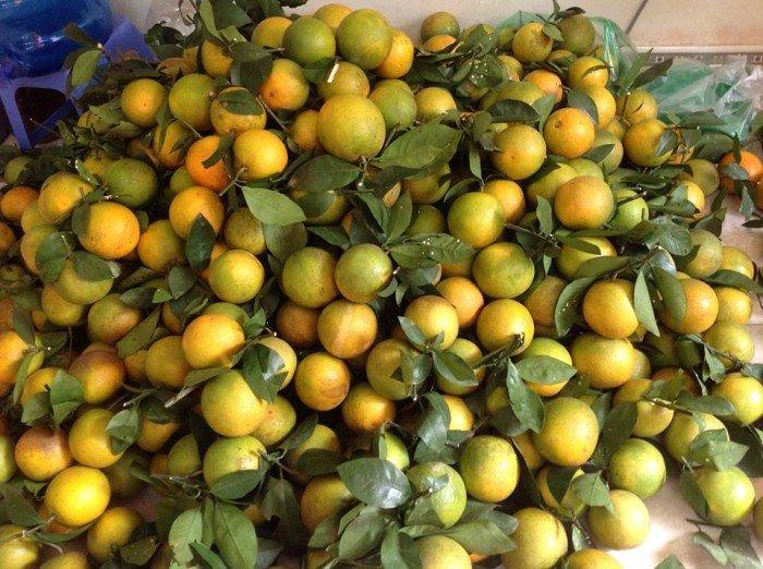 Chuyên cung cấp giống cây cam vinh,cam vinh,cam nghệ an,cam vinh nghệ an1