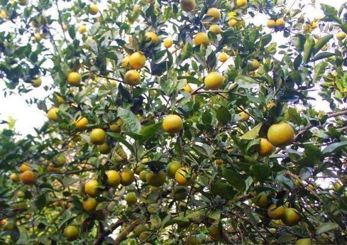 Chuyên cung cấp giống cây cam vinh,cam vinh,cam nghệ an,cam vinh nghệ an2