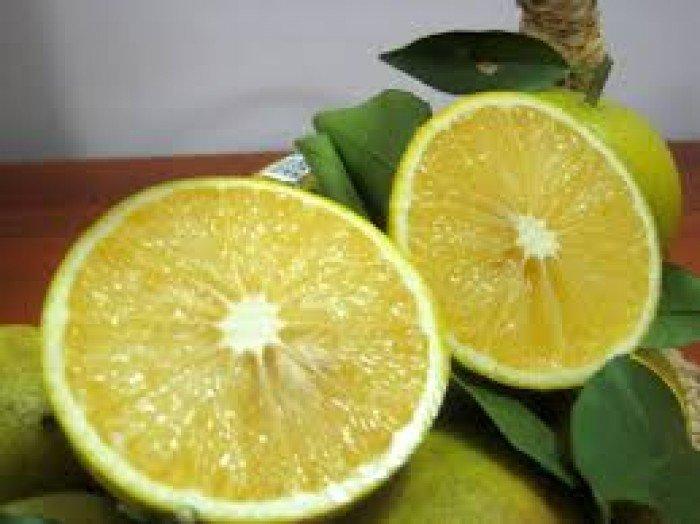 Chuyên cung cấp giống cây cam vinh,cam vinh,cam nghệ an,cam vinh nghệ an3