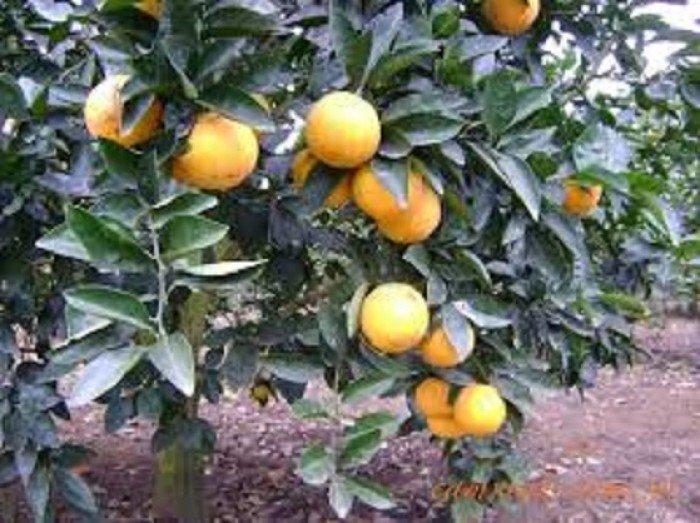 Chuyên cung cấp giống cây cam vinh,cam vinh,cam nghệ an,cam vinh nghệ an5