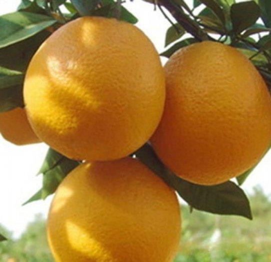 Chuyên cung cấp giống cây cam v2, cam v2, cam,giống cam v2 chất lượng,số lượng lớn0