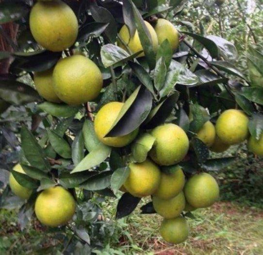 Chuyên cung cấp giống cây cam v2, cam v2, cam,giống cam v2 chất lượng,số lượng lớn1