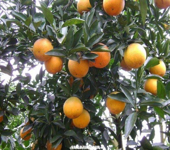 Chuyên cung cấp giống cây cam v2, cam v2, cam,giống cam v2 chất lượng,số lượng lớn2