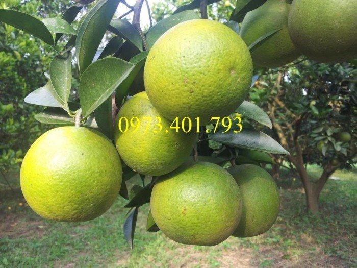 Giống cây cam Vinh, cam Vinh, cây cam Vinh, cây cam, kĩ thuật trồng cây cam2