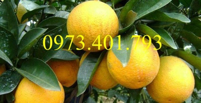 Giống cây cam Vinh, cam Vinh, cây cam Vinh, cây cam, kĩ thuật trồng cây cam3