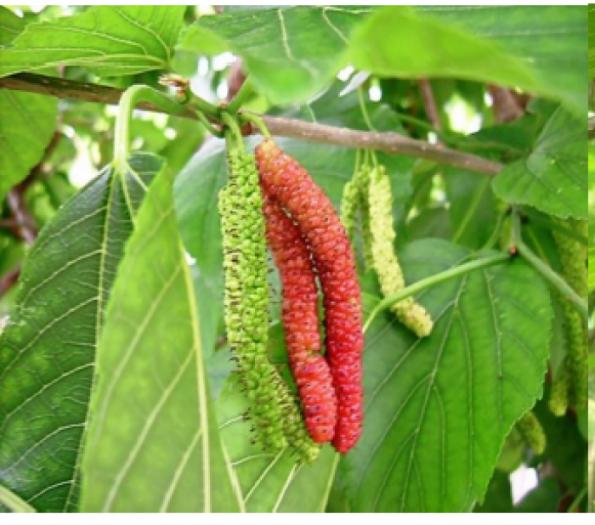 Chuyên cung cấp giống dâu quả dài đài loan,giống dâu đài loan,dâu quả dài, quả dâu5
