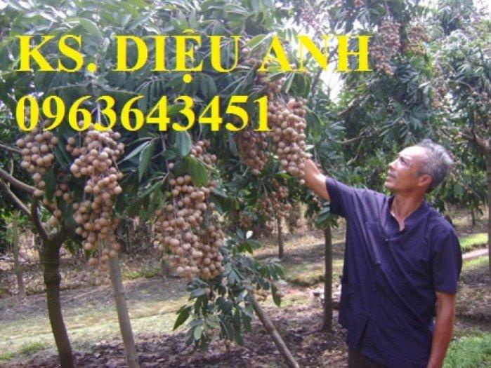 Chuyên cung cấp cây giống nhãn miền thiết, nhãn hương chi, nhãn T61