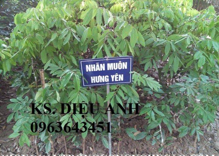 Chuyên cung cấp cây giống nhãn miền thiết, nhãn hương chi, nhãn T62