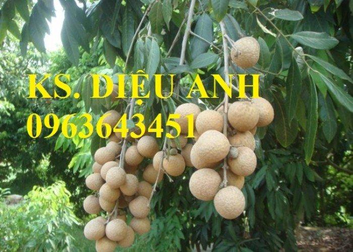 Chuyên cung cấp cây giống nhãn miền thiết, nhãn hương chi, nhãn T63