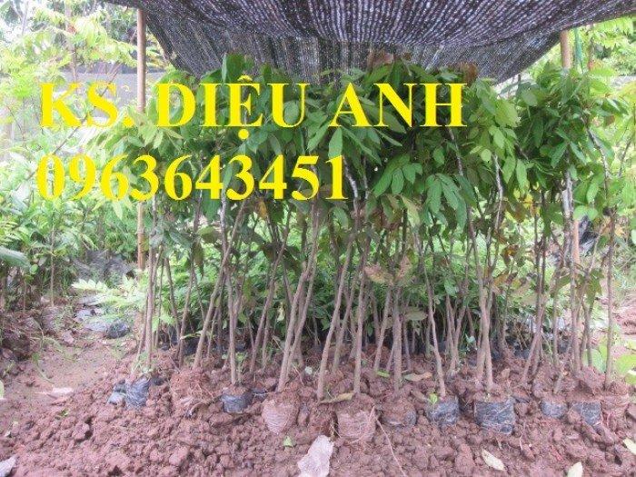 Chuyên cung cấp cây giống nhãn miền thiết, nhãn hương chi, nhãn T64