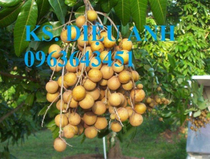 Chuyên cung cấp cây giống nhãn miền thiết, nhãn hương chi, nhãn T65