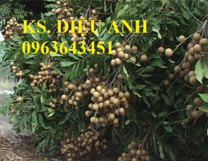 Chuyên cung cấp cây giống nhãn miền thiết, nhãn hương chi, nhãn T67