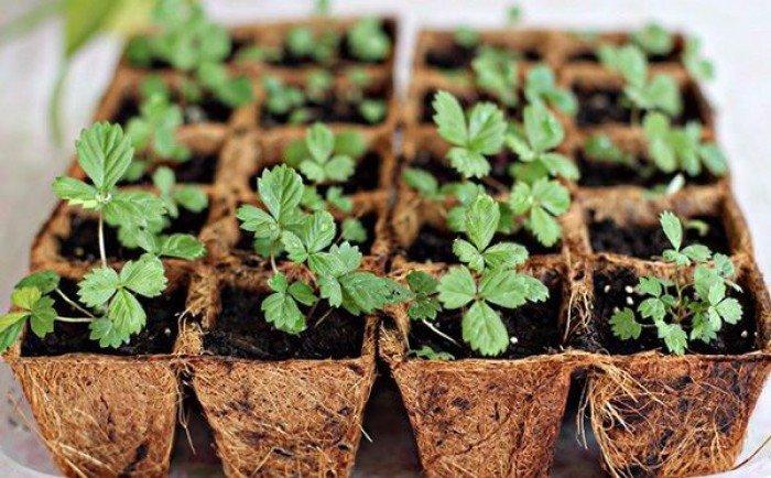 Chuyên cung cấp giống cây dâu tây,dâu tây,quả dâu,dâu,cây dâu,giống dâu tây chất lượng0