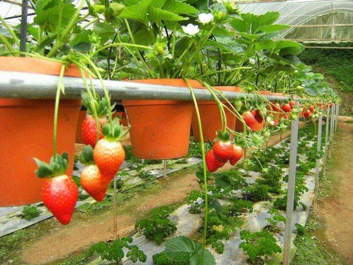 Chuyên cung cấp giống cây dâu tây,dâu tây,quả dâu,dâu,cây dâu,giống dâu tây chất lượng1