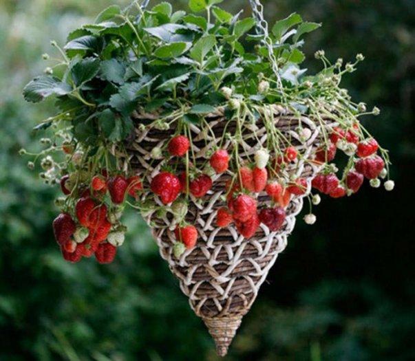 Chuyên cung cấp giống cây dâu tây,dâu tây,quả dâu,dâu,cây dâu,giống dâu tây chất lượng2