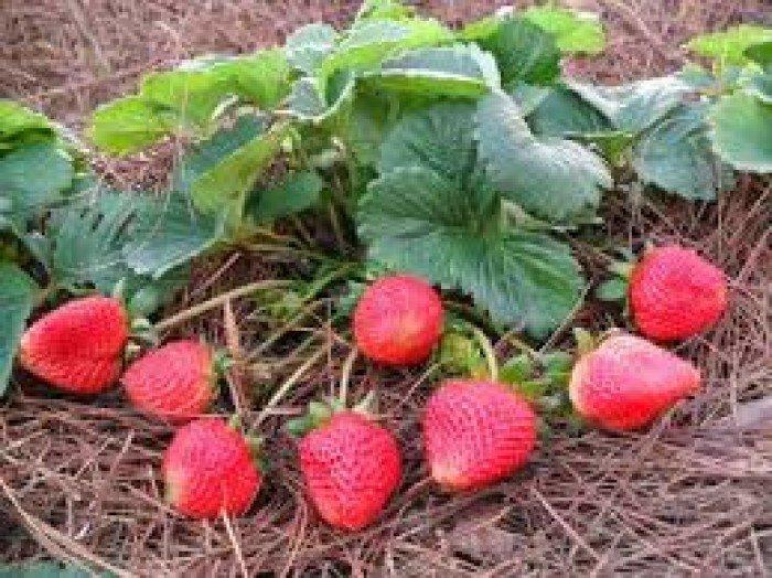 Chuyên cung cấp giống cây dâu tây,dâu tây,quả dâu,dâu,cây dâu,giống dâu tây chất lượng3