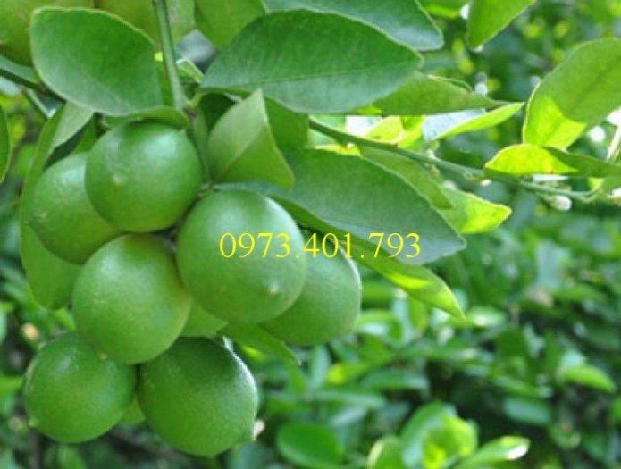Cây giống chanh không hạt, cây chanh không hạt, cây chanh, kĩ thuật trồng chanh, chanh không hạt1