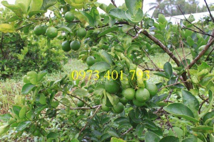 Cây giống chanh không hạt, cây chanh không hạt, cây chanh, kĩ thuật trồng chanh, chanh không hạt2