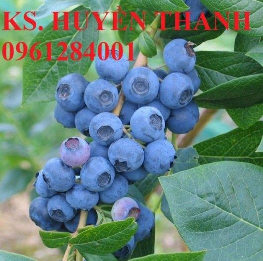 Chuyên cung cấp cây giống việt quất nhập khẩu, số lượng lớn, giao cây toàn quốc.2