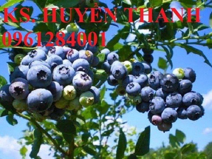 Chuyên cung cấp cây giống việt quất nhập khẩu, số lượng lớn, giao cây toàn quốc.3