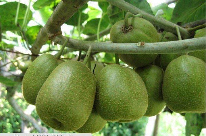 Bán cây giống kiwi nhập khẩu, kiwi ruột vàng, kiwi ruột xanh, kiwi ruột đỏ, cây kiwi, cây giống nhập khẩu1