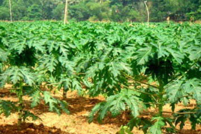 Chuyên cung cấp giống đu đủ lùn cao sản thái lan,đu đủ thái lan,đủ đủ lùn2