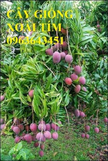 Chuyên cung cấp cây giống xoài tím úc, xoài tím ngọc vân chất lượng cao, bảo hành cây giống, giao cây toàn quốc1