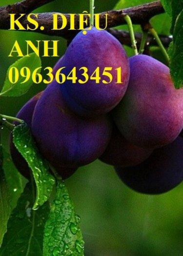 Chuyên cung cấp cây giống xoài tím úc, xoài tím ngọc vân chất lượng cao, bảo hành cây giống, giao cây toàn quốc4