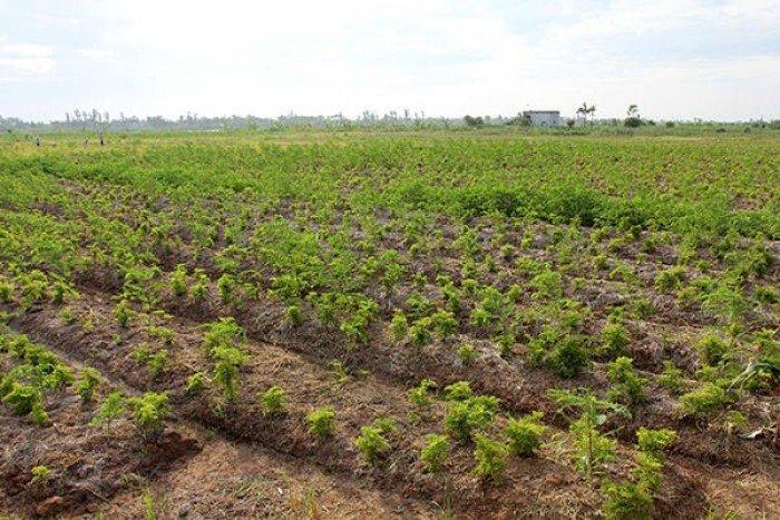 Thông báo về việc triển khai dự án trồng và thu mua sản phẩm cây đinh lăng.