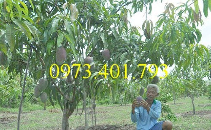 Chuyên cung cấp cây giống cây xoài đài loan miền Nam giá rẻ1