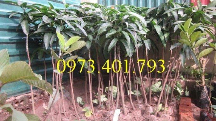 Chuyên cung cấp cây giống cây xoài đài loan miền Nam giá rẻ2