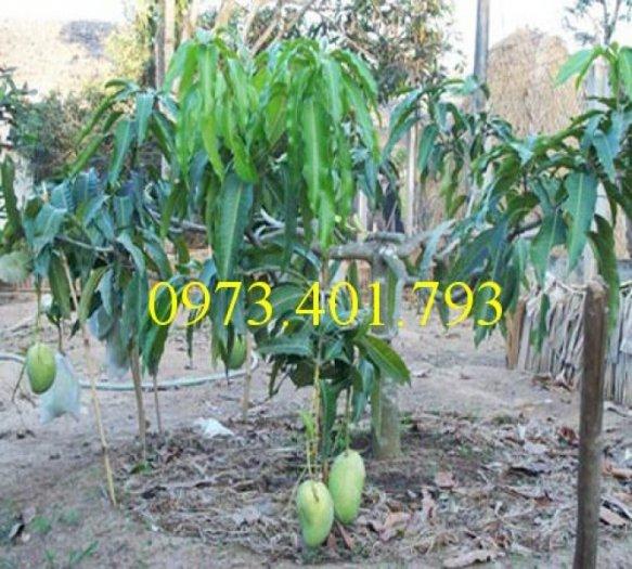 Chuyên cung cấp cây giống cây xoài đài loan miền Nam giá rẻ3