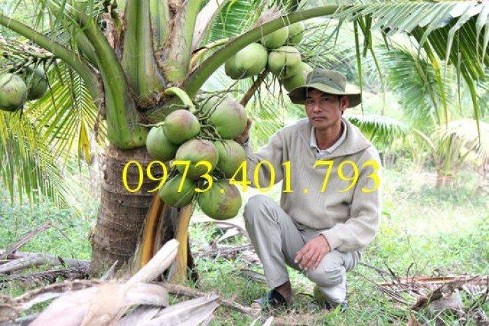 Giống cây dừa xiêm lùn xanh, dừa xiêm lùn, dừa xiêm, cây dừa xiêm lùn1