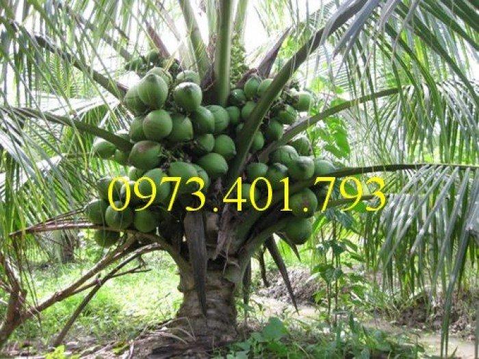 Giống cây dừa xiêm lùn xanh, dừa xiêm lùn, dừa xiêm, cây dừa xiêm lùn2