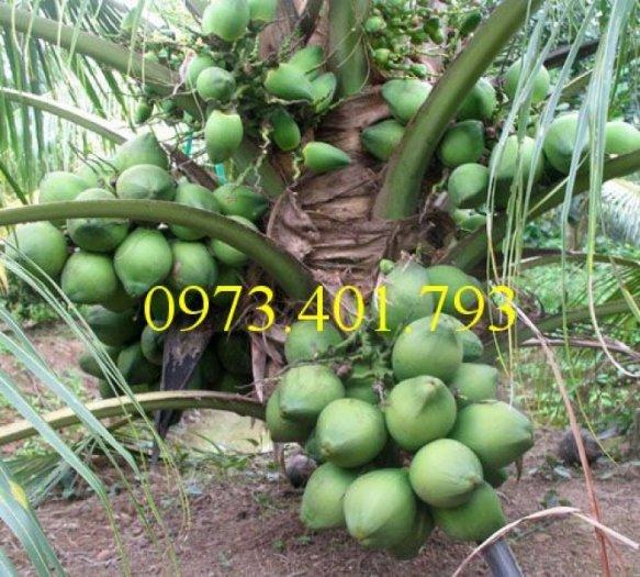 Giống cây dừa xiêm lùn xanh, dừa xiêm lùn, dừa xiêm, cây dừa xiêm lùn3