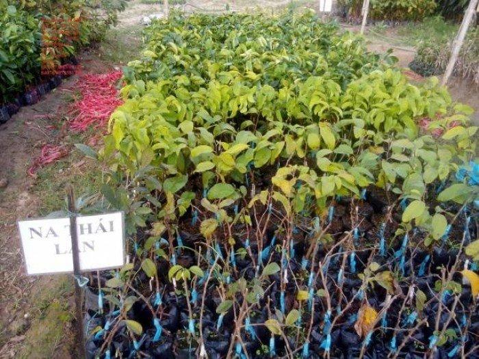 Bán cây giống na Thái Lan, mãng cầu thái số lượng lớn, giao cây toàn quốc1