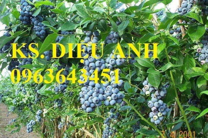 Chuyên cung cấp cây, hạt giống việt quất (sim Úc) nhập khẩu chất lượng cao, giao cây toàn quốc0