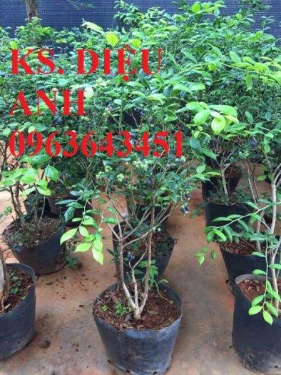 Chuyên cung cấp cây, hạt giống việt quất (sim Úc) nhập khẩu chất lượng cao, giao cây toàn quốc1