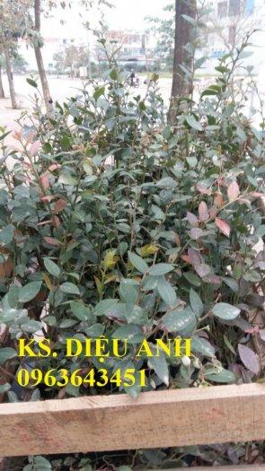 Chuyên cung cấp cây, hạt giống việt quất (sim Úc) nhập khẩu chất lượng cao, giao cây toàn quốc4