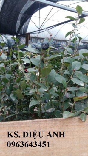 Chuyên cung cấp cây, hạt giống việt quất (sim Úc) nhập khẩu chất lượng cao, giao cây toàn quốc5