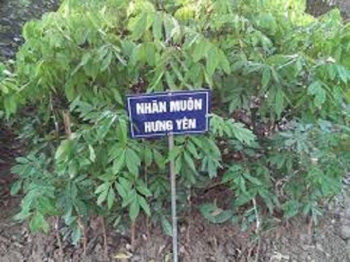 Bán cây giống nhãn muộn, nhãn hưng yên, nhãn miền thiết, giao cây toàn quốc1