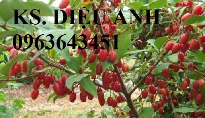 Chuyên cung cấp cây giống nhót ngọt chuẩn F1, uy tín, chất lượng cao, giao cây toàn quốc.3