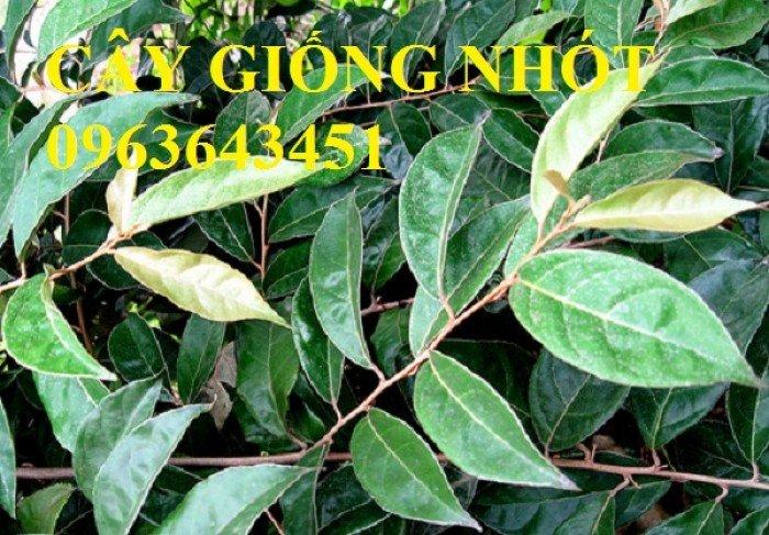 Chuyên cung cấp cây giống nhót ngọt chuẩn F1, uy tín, chất lượng cao, giao cây toàn quốc.5
